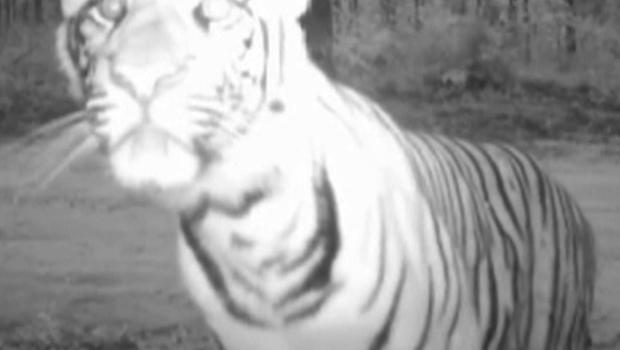 Hidden camera footage provided by the Wildlife Conservation Society shows tigers in their natural environment.