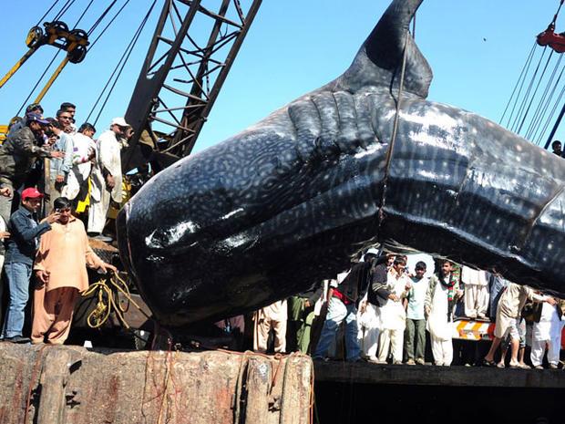 Fishermen reel in 40-foot whale shark