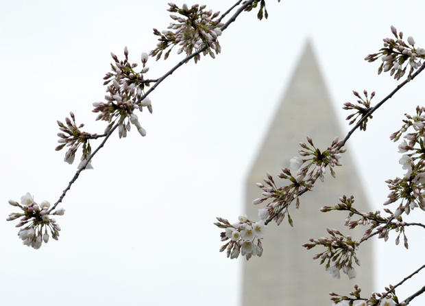 Cherry blossoms bloom early in D.C.