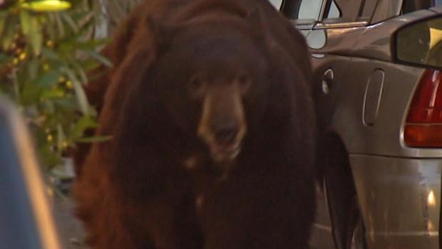 Glendale black bear
