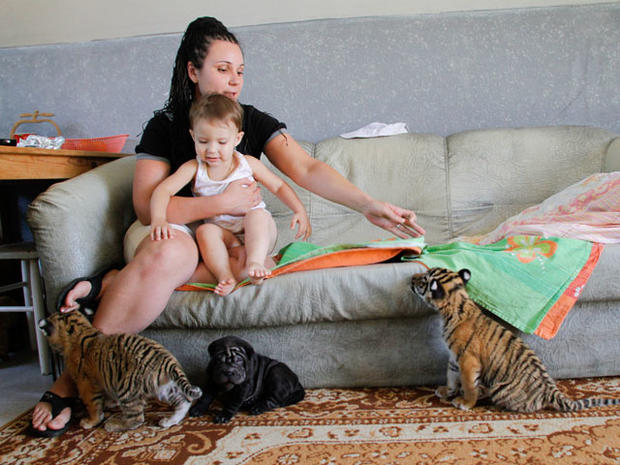 Siberian tigers' new surrogate mom