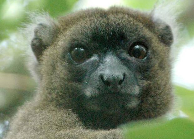 "A prosimian primate, lemur in Latin means ""ghost."" In fact, lemurs' haunting stares and nocturnal activity have led many of the Malagasy people to believe they are ghostlike or spiritlike creatures, according to Duke University Lemur Center."