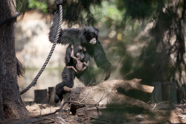 Rare siamang gibbon born in Tel Aviv Zoo