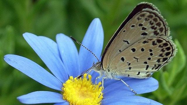 Pale grass blue butterfly, Zizeeria maha