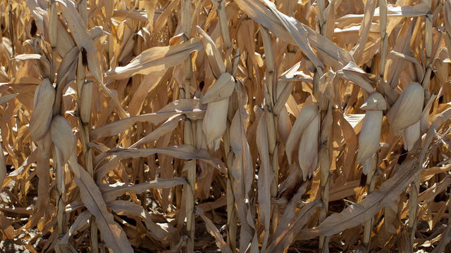 Drought damaged corn in Missouri Valley, Iowa.