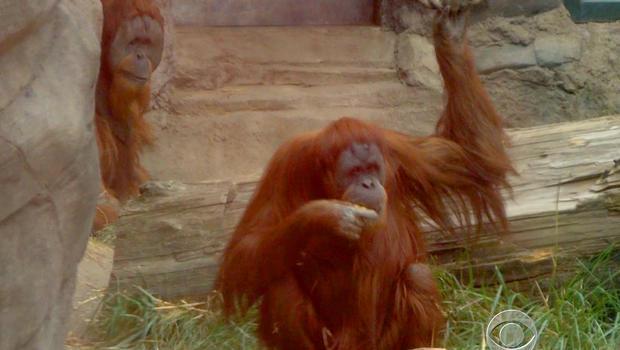 orangutan, oregon zoo