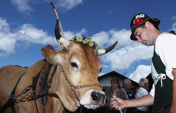 Bavarian Ox Racing Championships