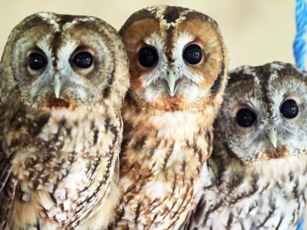 Rescued baby tawny owls