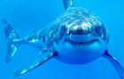 greatwhiteshark.jpg