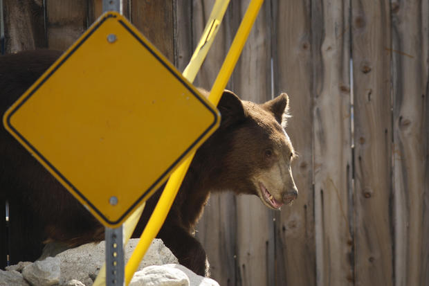 Bear captured near Los Angeles