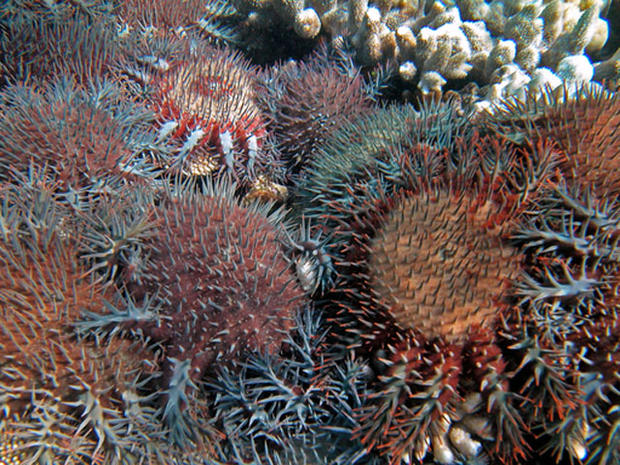 Population outbreaks of the coral eating starfish Acanthaster planci have been responsible for 42% of the over 50% decline in coral cover on the Great Barrier Reef between 1985 and 2012