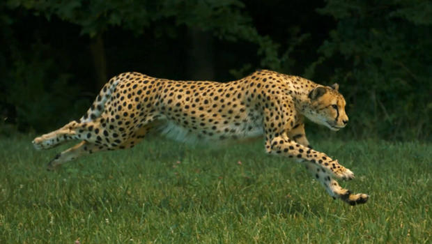 Check Out A Cheetah Running In Super Slow Motion Cbs News
