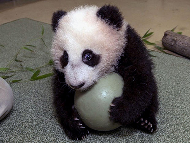 The San Diego Zoo's panda cub, Xiao Liwu, did not want to share his plastic ball during his 18th exam.