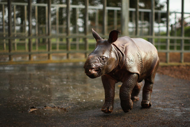 Baby rhino debuts in UK zoo