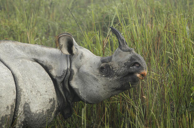 Illegal rhino horn trade