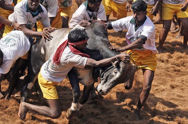 Extreme wild bull taming
