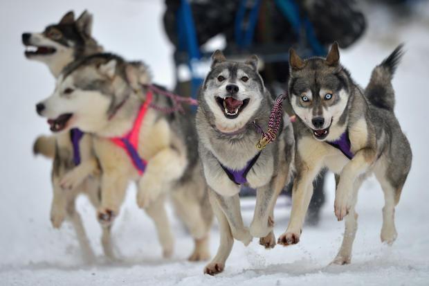 Dog sledders prepare for U.K. race