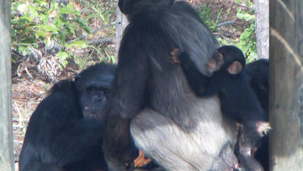 Chimp Haven sanctuary gives chimpanzees their first chance to live outside cages.