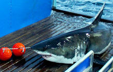 Great white shark expedition: Behind the scenes
