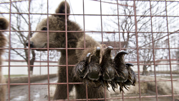 A bear reaches out from a cage at the estate of Ion Balint, known to Romanians as Nutzu the Pawnbroker, a notorious gangster, in Bucharest, Romania, Wednesday, Feb. 27, 2013.