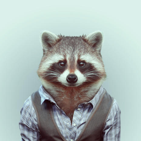 Raccoon -