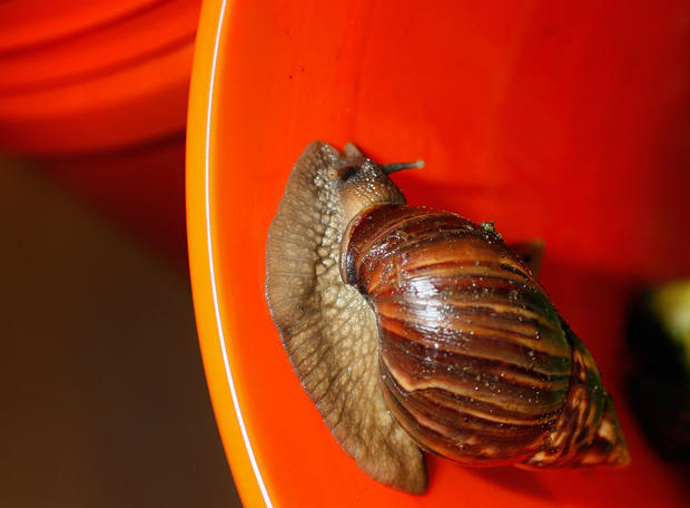 Giant African land snails take over Florida