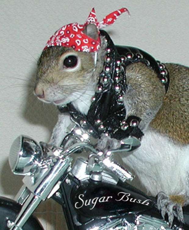 031_Sugar_Bush_Squirrel_Biker.jpg