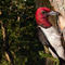 Sartore_woodpecker.jpg