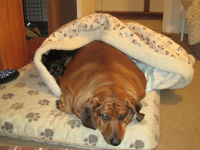 pierde în greutate pentru dachshunds