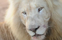 Greatest threat to Africa's white lions: American hunters