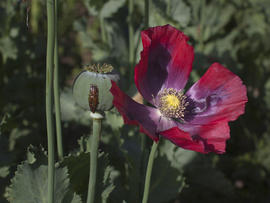 The opium sap from the bulb of the poppy plant is seen May 31, 2011, in Fayzabad, Badakhshan, Afghanistan.