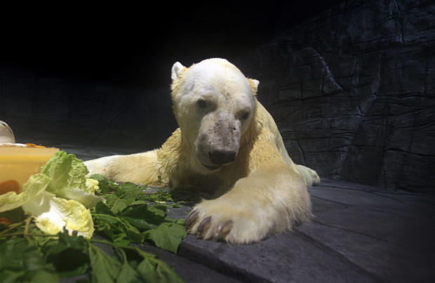 New home for Singapore's polar bear