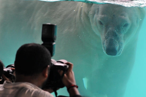 New home for Singapore's polar bear