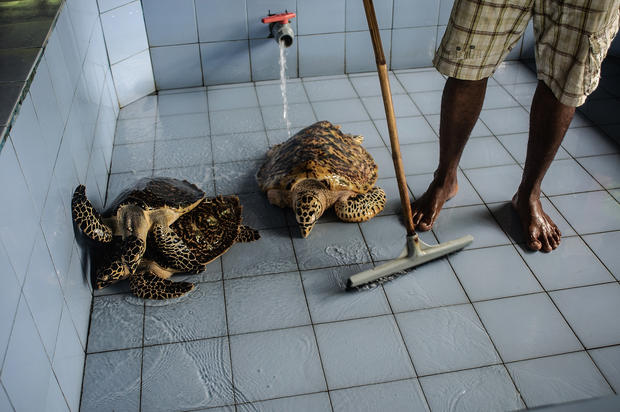 Turtle conservation in Bali