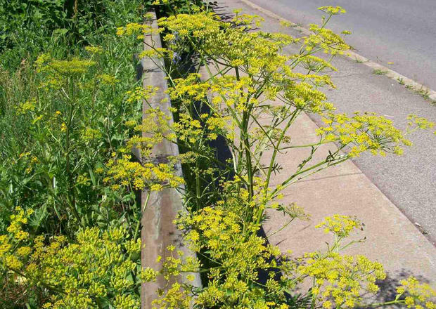 Beware of the wild parsnip and other poisonous plants