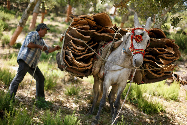 Cork harvest in Spain