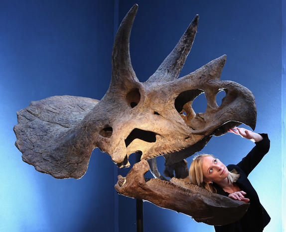 Where can you buy a Triceratops skull?