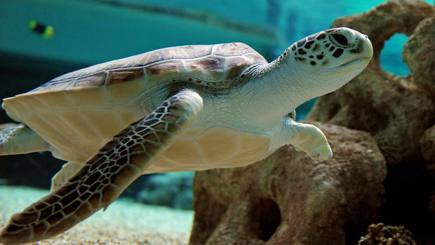 a look at sea turtles and their endangerment Why are sea turtles endangered they must hold their breath, and sea turtles are plastic bags that float in the sea look a lot like jellyfish sea turtles.