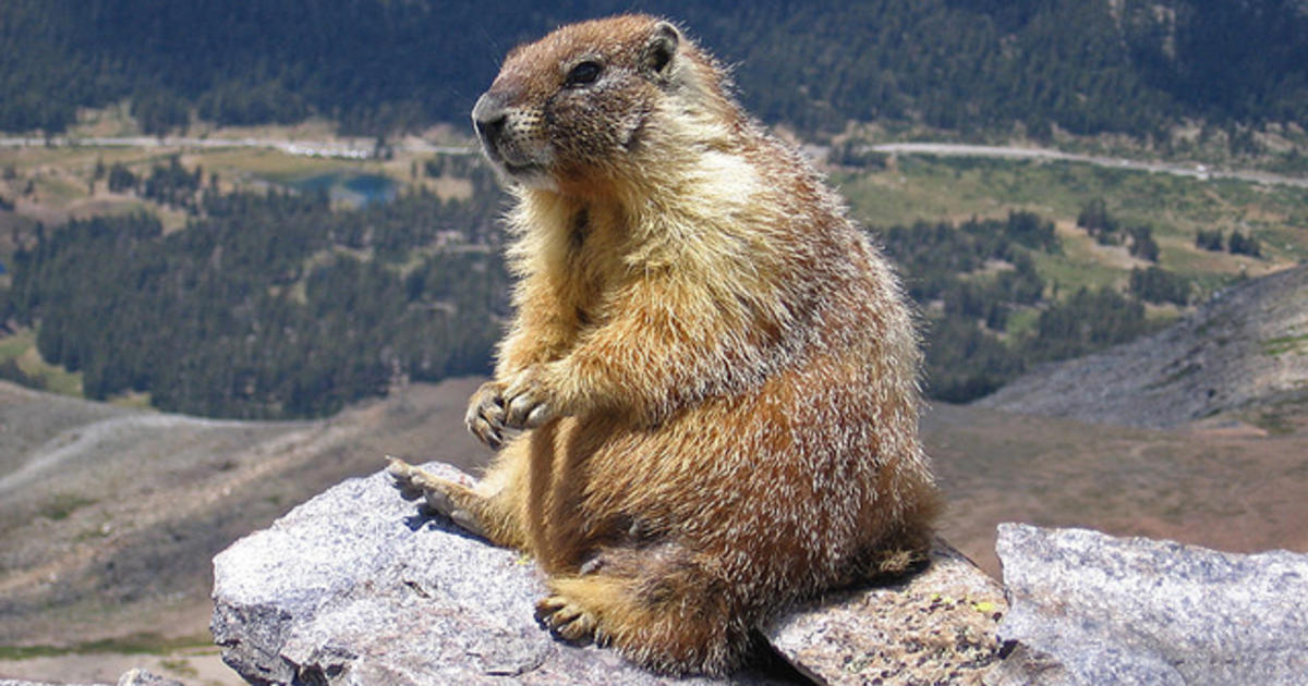 Kyrgyz teen dies from bubonic plague after eating marmot ...