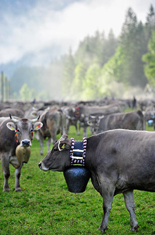 The cows of Bavaria