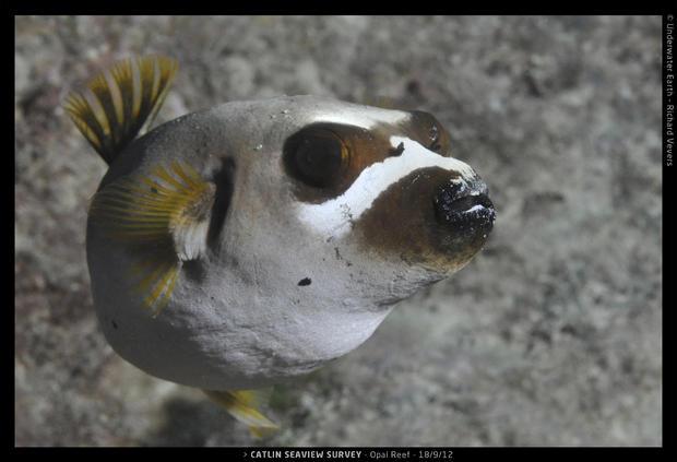 Catlin_Seaview_Survey._2012.09.18_L_OpalDogface.jpg