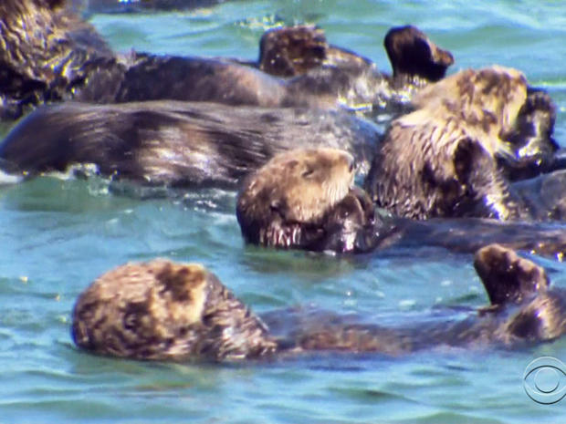With the help of the Monterey Bay Aquarium's otter rescue team, sea otters have produced a record number of pups.