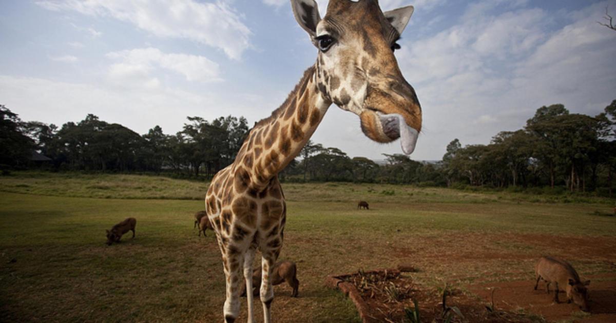 Ancient fossils show how giraffe got its long neck