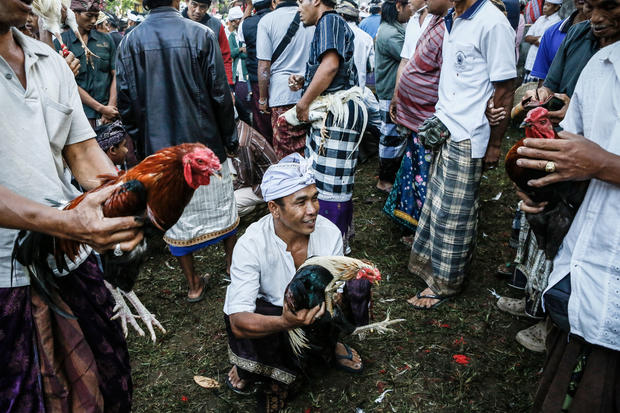 Ritual rooster fights in Bali