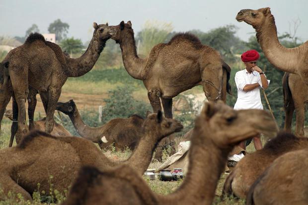 India's camel fair