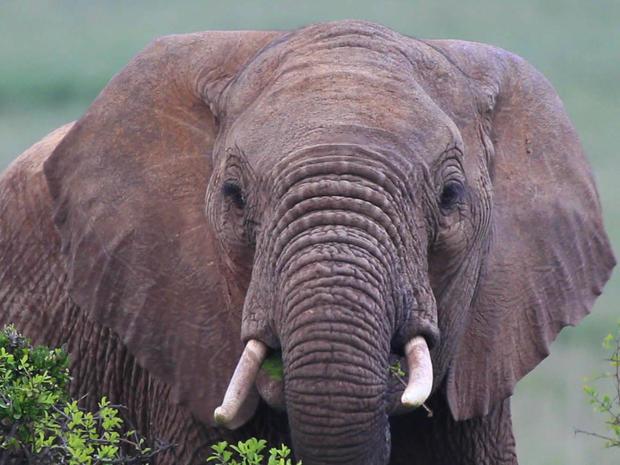 elephant.PetersenGrab1.jpg