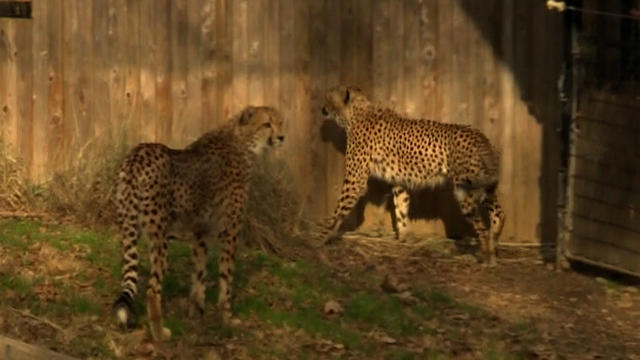Report Finds National Zoo Severely Lacking In Animal Care Cbs News