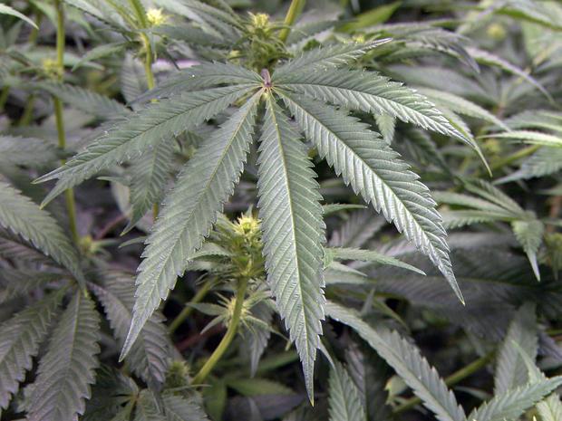 Marijuana_Leaf.jpg