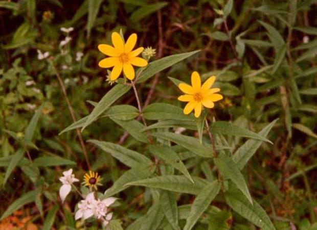 Eggerts_Sunflower_FWS.jpg