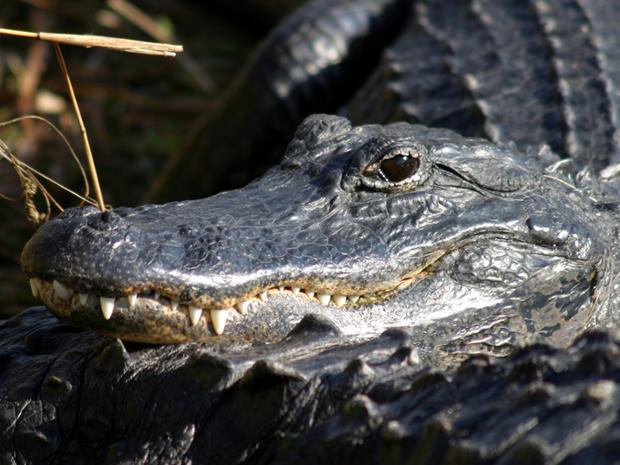 American_alligator_NPS_Rodney_Cammauf.jpg.jpg
